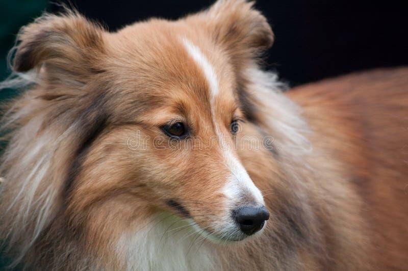 Sheltie - cão de carneiros de Shetland imagem de stock royalty free