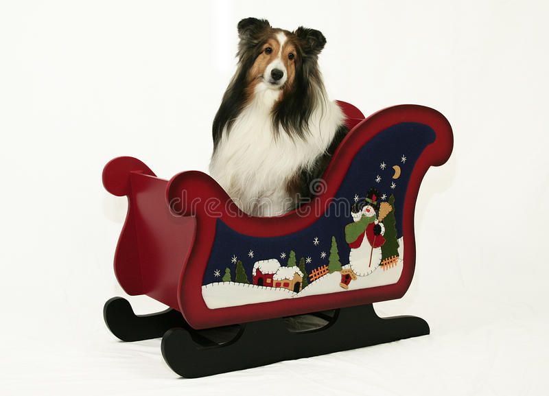 Download Sheltie & Christmas Sleigh stock photo. Image of holiday - 17241766
