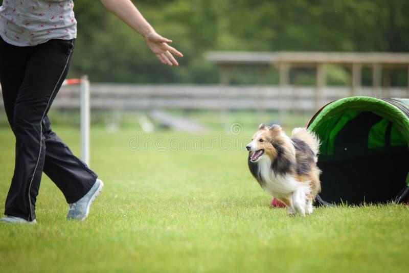 Sheltie del perro en tunel de la agilidad imagen de archivo