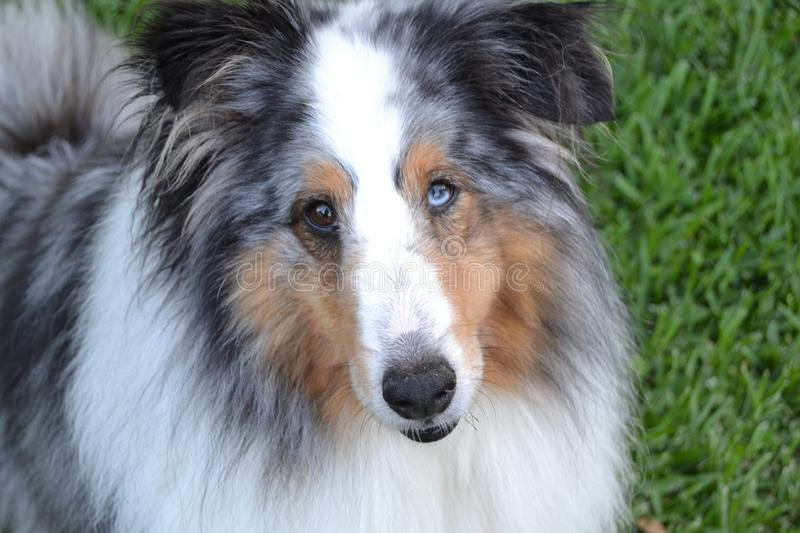 Sheltie with different colored eyes royalty free stock photo