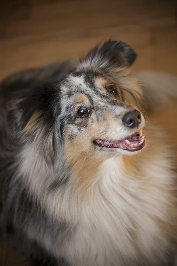 Sheltie Dog royalty free stock photo