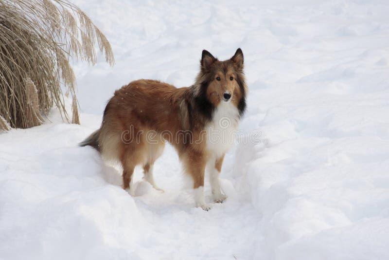 Sheltie en la nieve imagenes de archivo