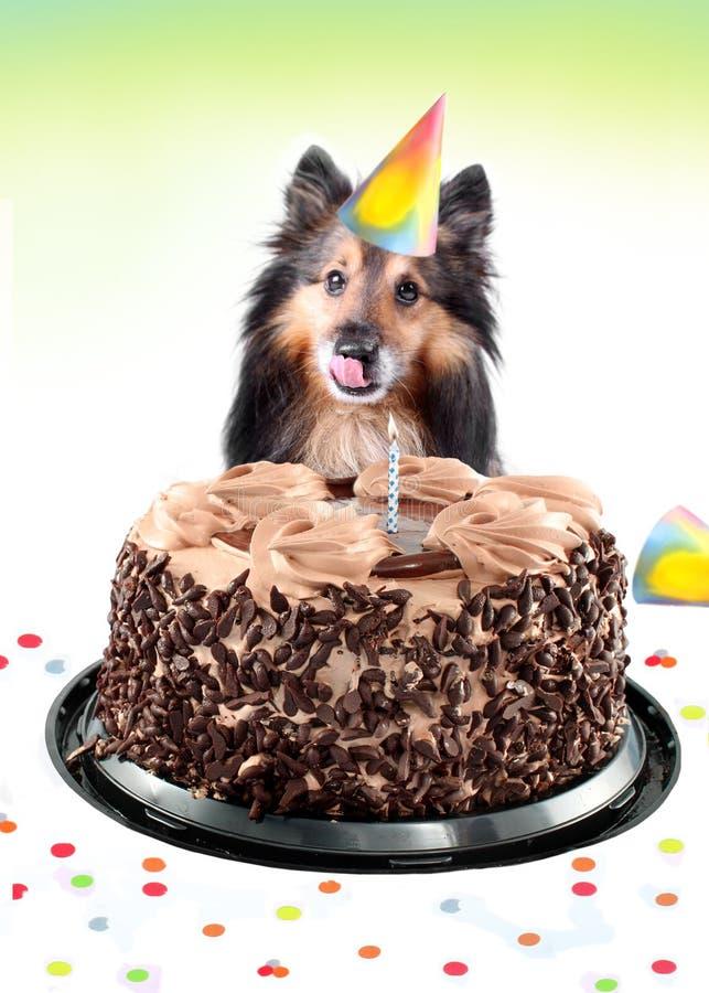 Sheltie Geburtstagkuchen lizenzfreies stockbild