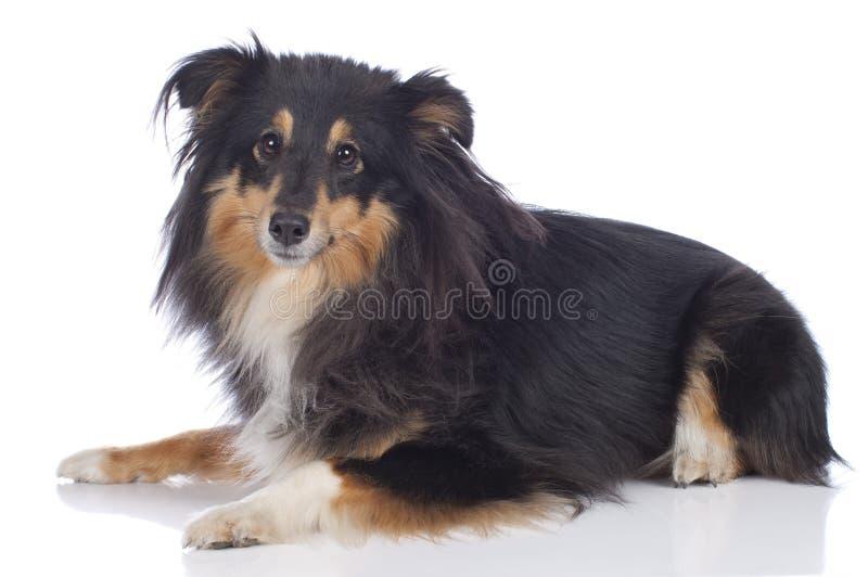 Sheltie-Hund, der auf Weiß liegt lizenzfreie stockfotos