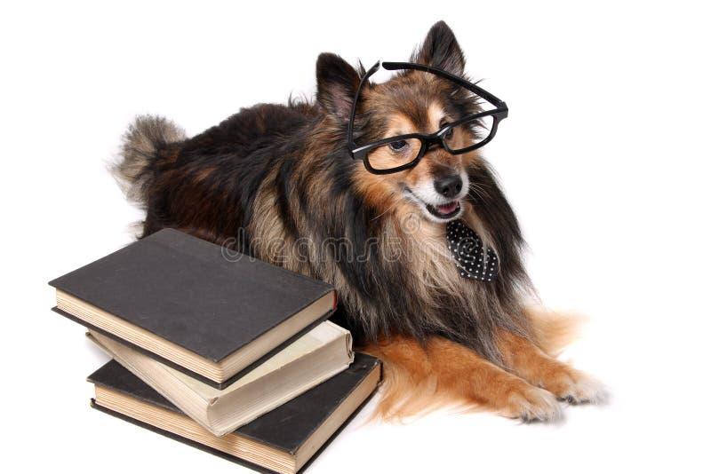 Sheltie-Hund im Büro lizenzfreie stockbilder
