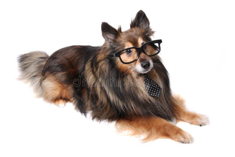 Sheltie-Hund im Büro stockfotografie