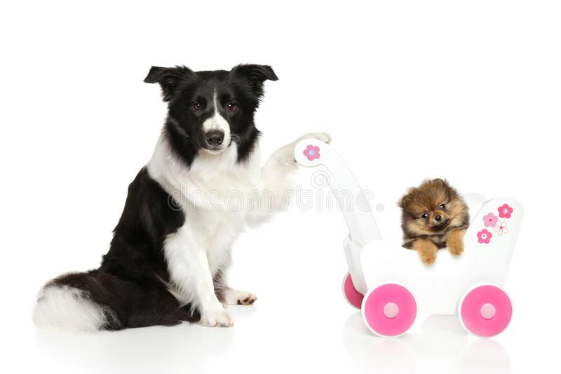 Sheltie-Hund mit Spitzwelpen stockfoto
