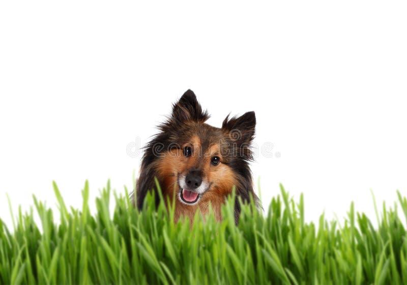Sheltie lindo detrás de la hierba imagen de archivo