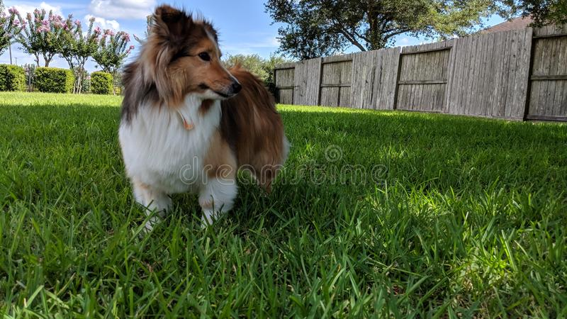 Sheltie Mochi enjoying the yard stock photography