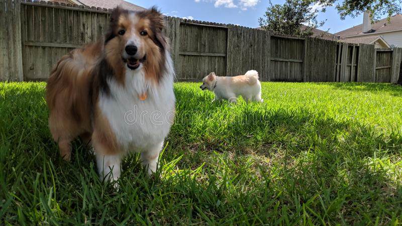 Sheltie Mochi enjoying the yard stock images
