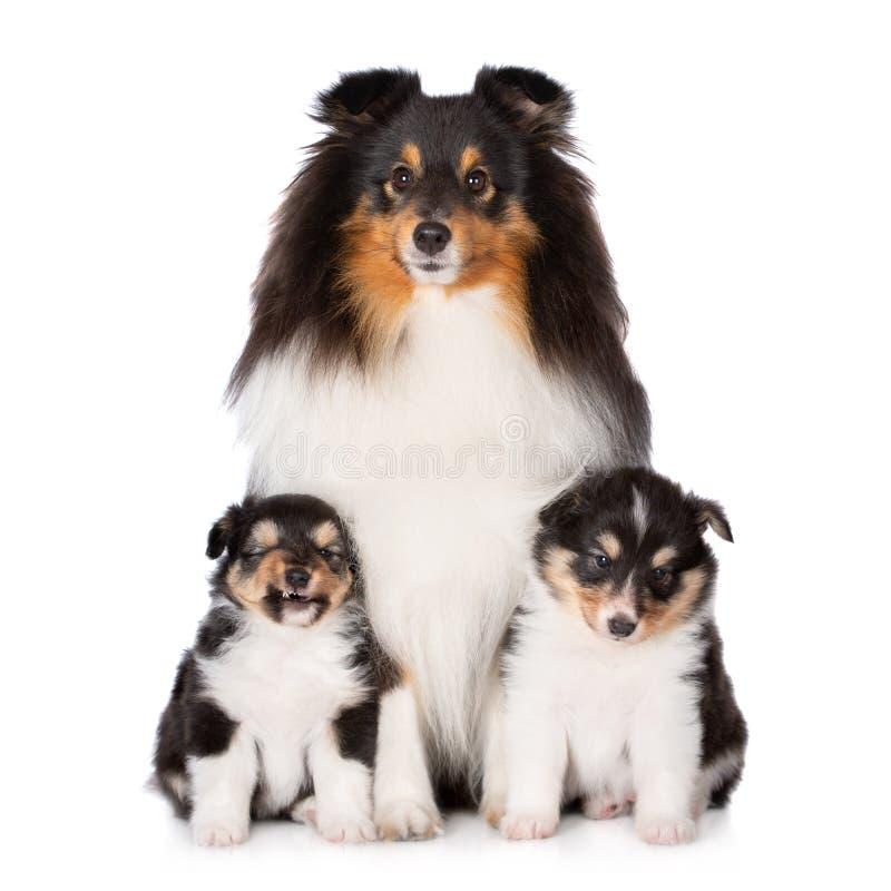 Sheltie pies pozuje z dwa szczeniakami zdjęcia stock