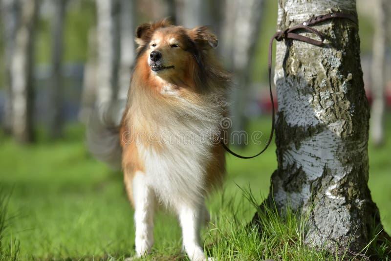 Sheltie pies w parku w lecie zdjęcie royalty free