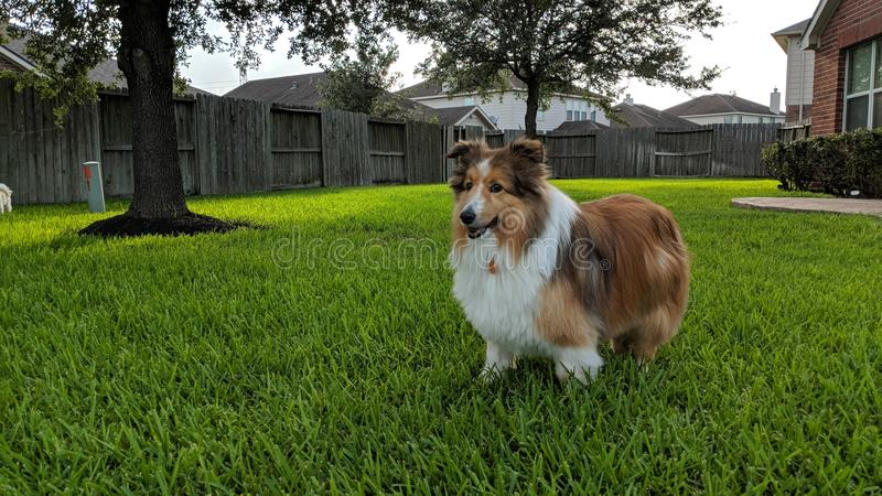 Sheltie pose stock photo