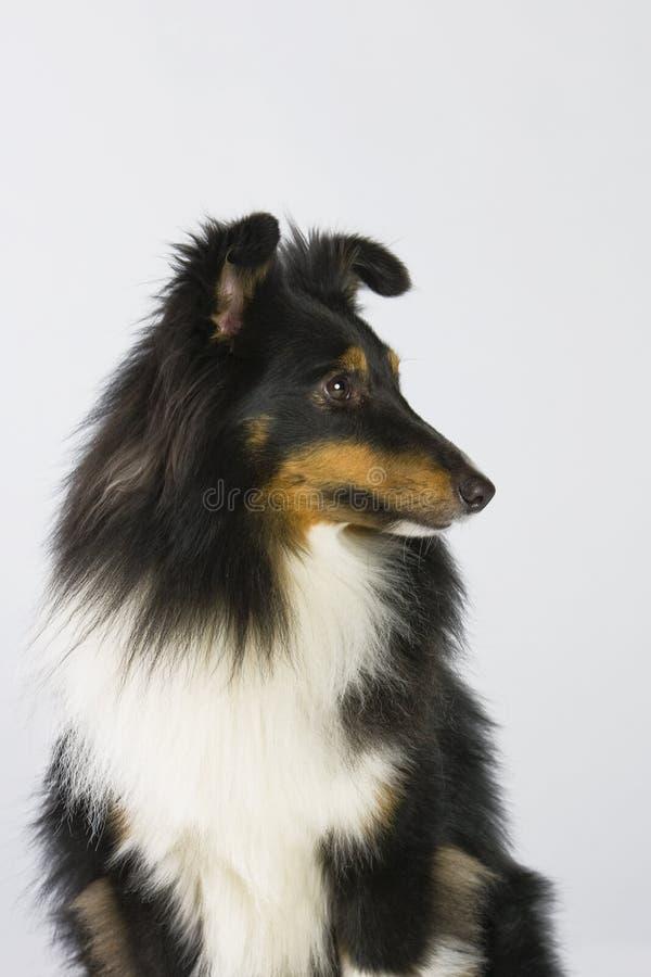 Sheltie Profil royalty-vrije stock afbeeldingen