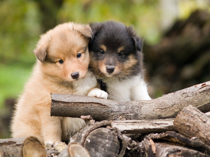 Sheltie puppies. Cute sheltie puppies looking at camera sitting closely one to other