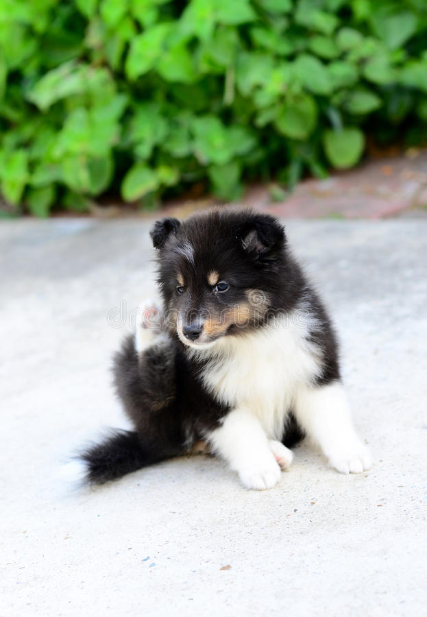 Sheltie puppies scratching ear. Shetland sheepdog puppy while trying to scratch her ear with green background and concrete floor stock photography