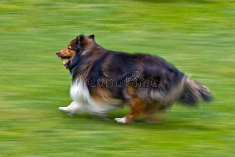Shetland Sheepdog Running On Grass Royalty Free Stock Image