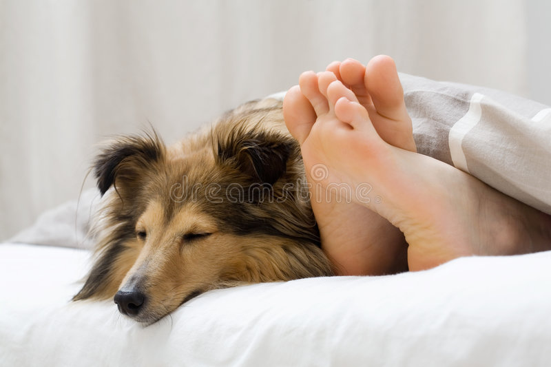 Sheltie sleeping with her owner stock photography