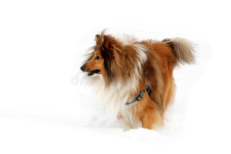 Sheltie in the snow stock images