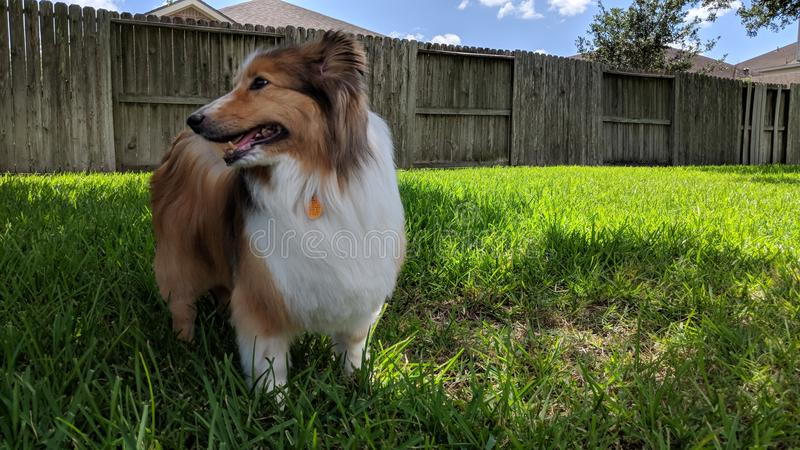 Sheltie in the yard stock photography