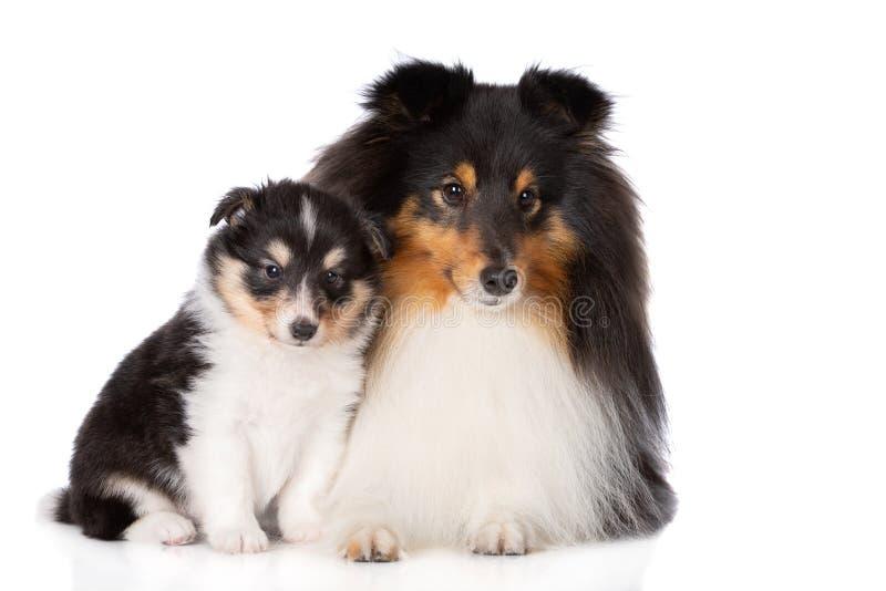 Sheltiehond het stellen met een puppy op wit royalty-vrije stock afbeelding