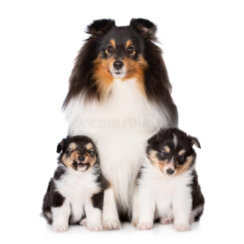 Sheltiehond het stellen met twee puppy stock foto's
