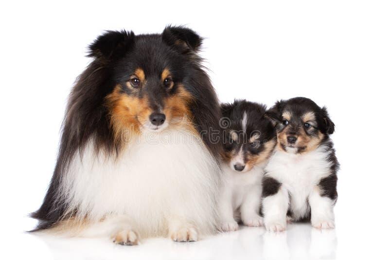 Sheltiehond het stellen met twee puppy op wit stock fotografie