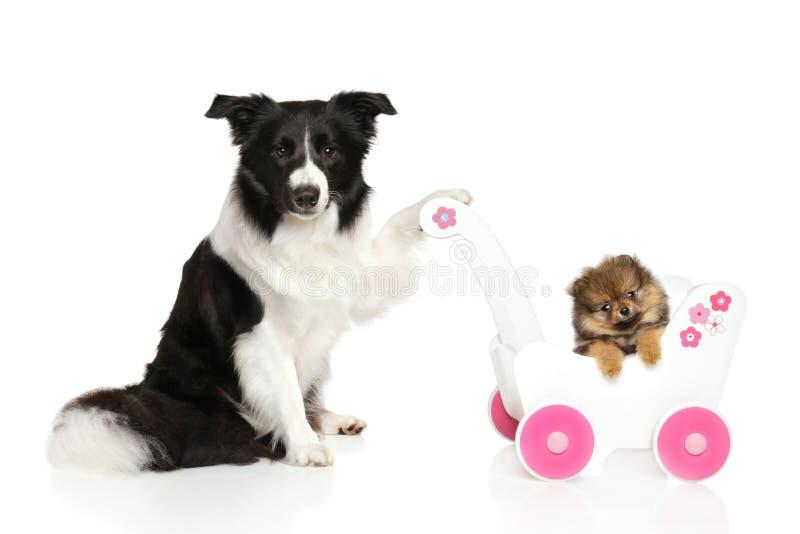 Sheltiehond met Spitz puppy stock foto