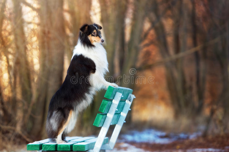 Sheltiehond in openlucht in de winter royalty-vrije stock afbeeldingen