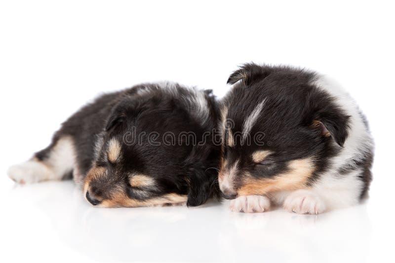 Sheltiepuppy die op witte achtergrond slapen stock fotografie