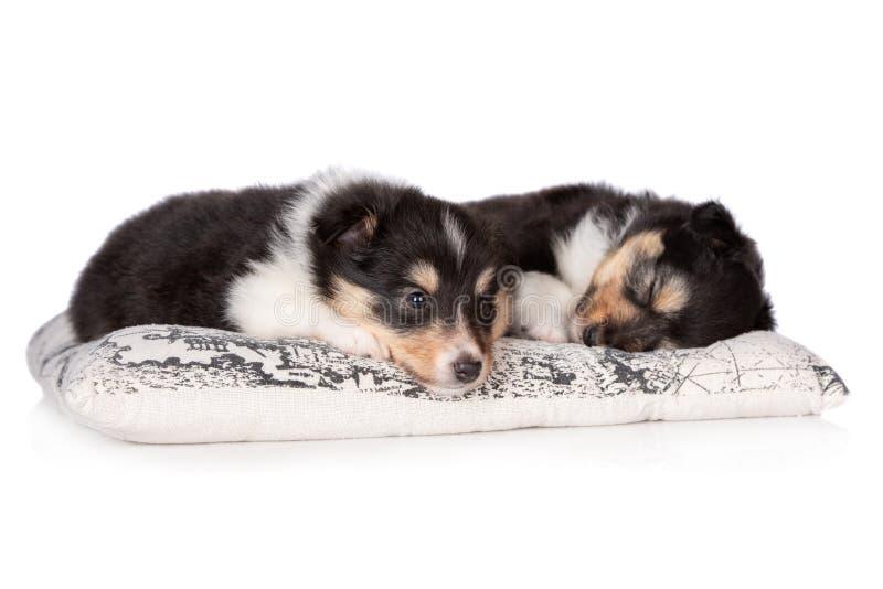 Sheltiepuppy die op witte achtergrond slapen royalty-vrije stock foto's