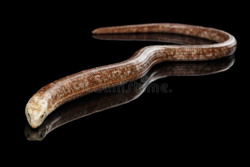 Sheltopusik eller europeisk Legless ödla, Pseudopus apodus royaltyfri fotografi