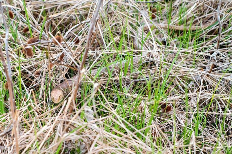 Sheltopusik legless ödla eller Pseudopus apodus fotografering för bildbyråer