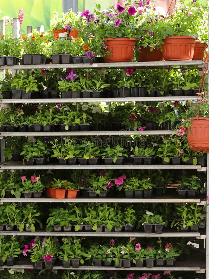 shelving in a flower shop. Shelves with seedlings. stock image