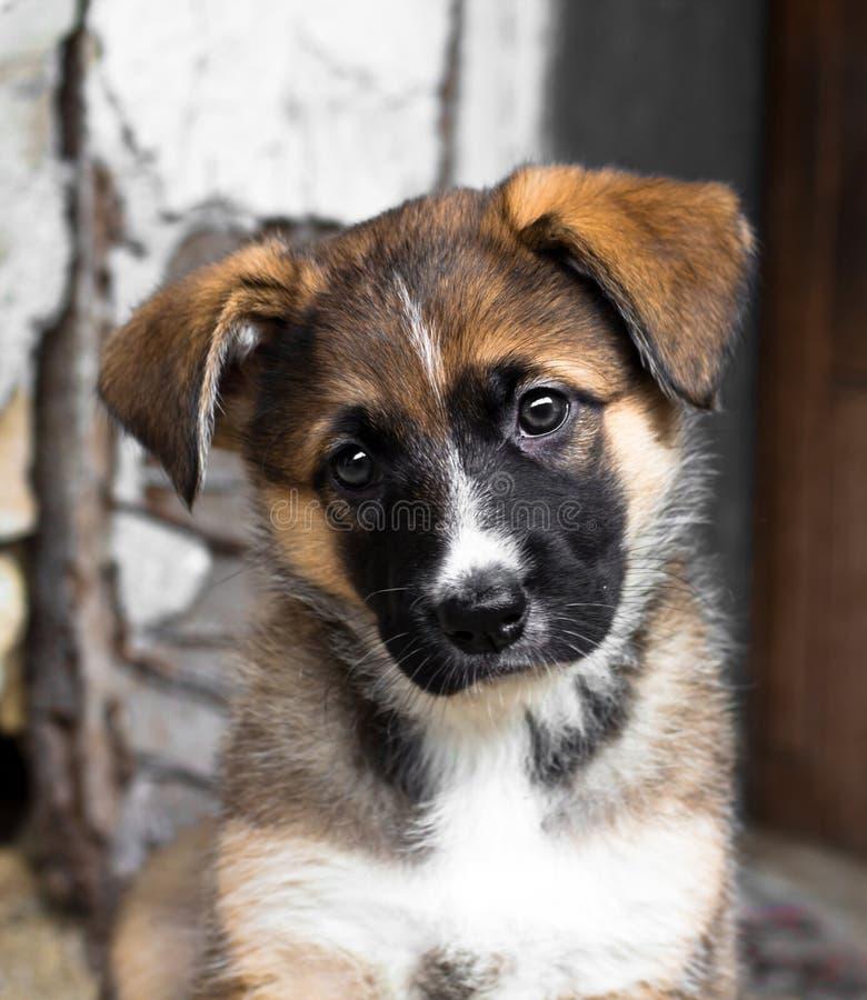 Shepard curieux mignon de chiot, d'Allemand et de Belge de chien métis photos libres de droits