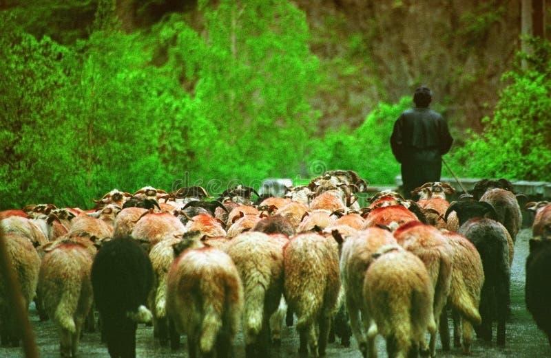 Shepard piombo una moltitudine di pecore fotografie stock libere da diritti