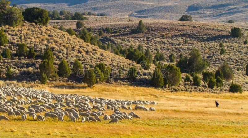 Shepard y ovejas del guardia del perro pastor a lo largo del camino a Bodie foto de archivo libre de regalías
