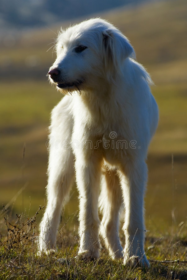 sheperd румына собаки стоковое фото