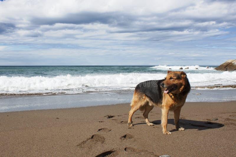 Sheperd alemán en la playa fotos de archivo libres de regalías
