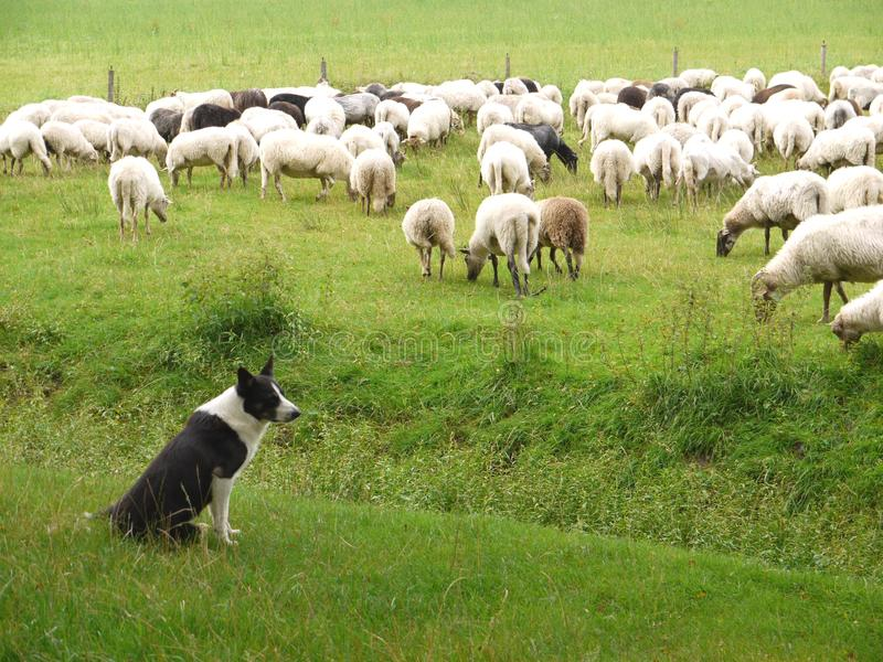 Download Sheperd dog stock photo. Image of animals, field, nature - 23033512