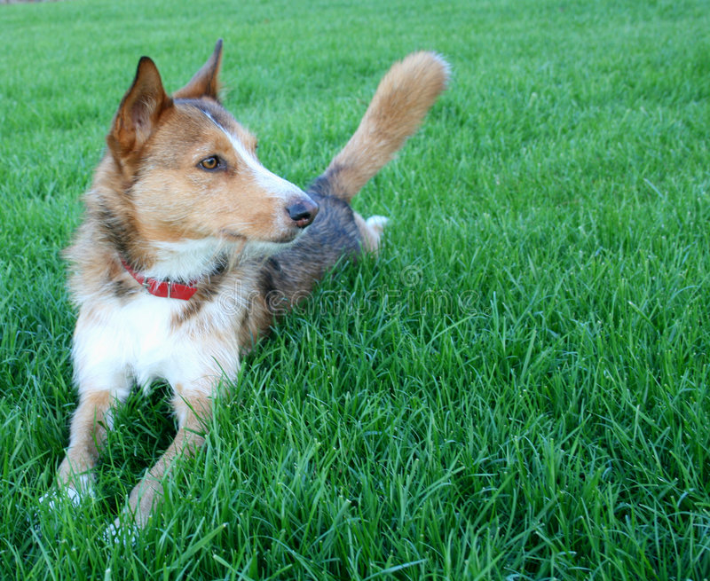 Download Sheperd dog stock image. Image of nature, field, breed - 6983471