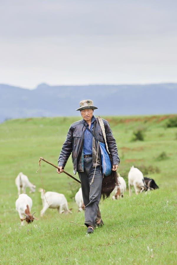 Sheperd local com um rebanho em montanhas verdes, Kunming da cabra, China imagens de stock