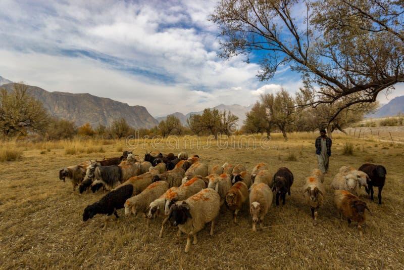 shepherd foto de stock