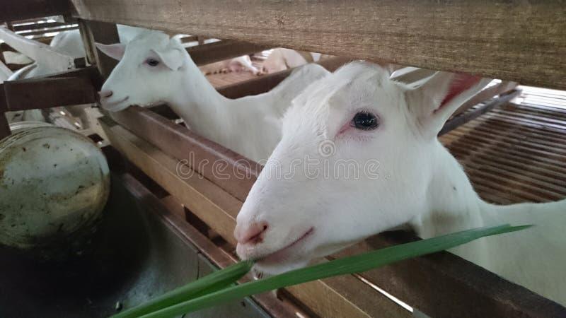 shepherd fotos de stock royalty free