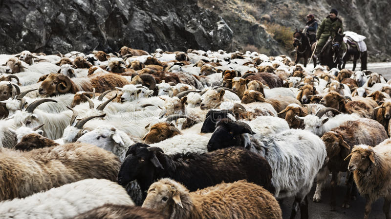 shepherd immagini stock libere da diritti