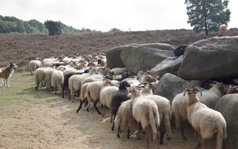 Shepherd avec des moutons près du dolmen du havelte, Hollande images libres de droits