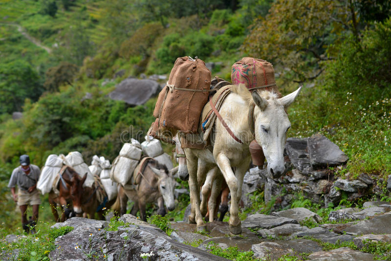 A shepherd with a caravan of donkeys carrying heavy supplies royalty free stock images
