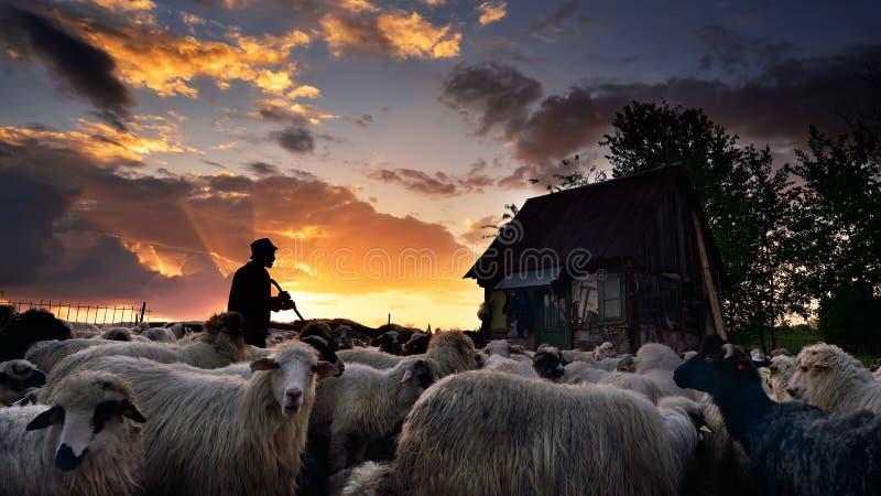 Shepherd a casa na Transilvânia, no por do sol em Romênia fotografia de stock