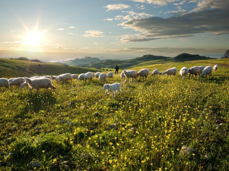 Shepherd com cão e carneiros que pastam no florescido imagens de stock royalty free