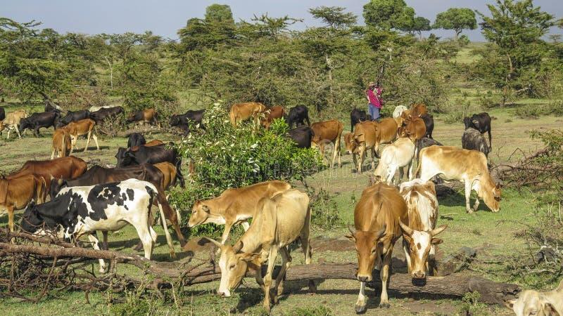 Shepherd com suas vacas de pastagem no Masai Mara fotos de stock